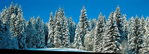 Stock Photo: 1597-111238  winter, wood, forest, fir wood, snow, blue, sky, panorama, scenery, firs