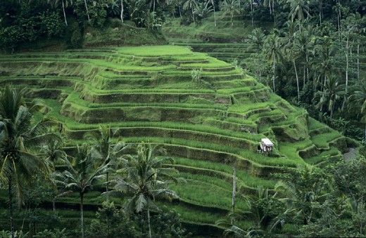 agriculture, Asia, Bali, Asia, fields, Indonesia, palm trees, rice, rice fields, terraces, Tegalagang : Stock Photo