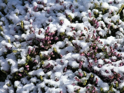 Stock Photo: 1597-111915 blossoms, moor, plant, plants, snow, Switzerland, Europe, Winter,