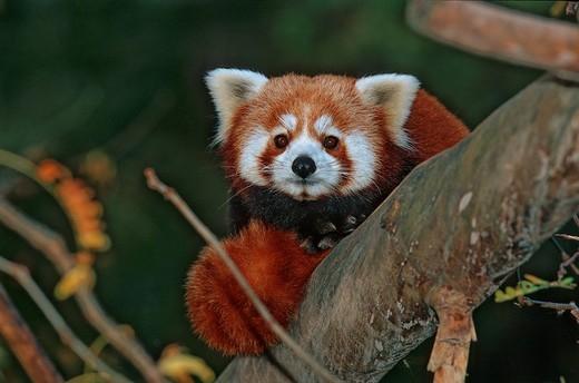 Stock Photo: 1597-113314 Lesser Panda, Ailurus Fulgens, Red Panda, Wolong, Sichuan, China, Asia, one animal