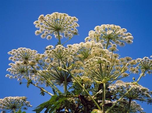 blossom, flourish, white, Doldenblütler, giants Bärenklau, Herkules shrub, Heracleum mantegazzianum, : Stock Photo