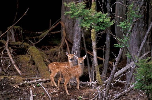 Canada, North America, America, Black Tail Deer, Odocoileus hemionus columbianus, Gwaii Haanas national park, Reserve, : Stock Photo