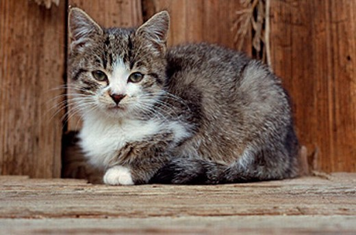 Stock Photo: 1597-11364  kittens, cat, house cat, domestic cat, , nature, mammal, animal, beast,