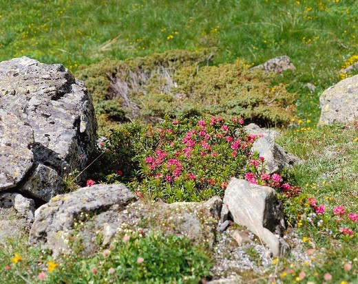 Stock Photo: 1597-114976  vegetation, alpine, Alpine roses, cliff lumps, plants, flowers, blossoms, flourishes,