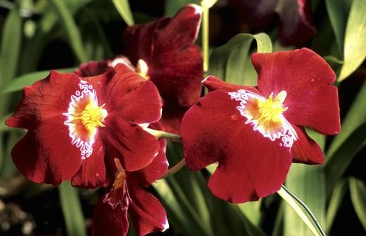 Stock Photo: 1597-115264  orchid, red, blossom, flourish, close up, garden, Miltonia Hybrid,