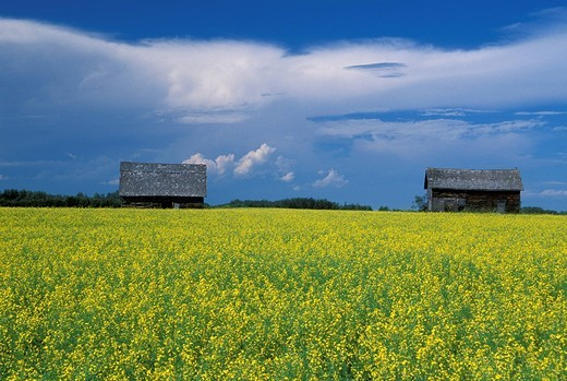 Stock Photo: 1597-116190 Canada, North America, America, Canola field, near Grimshaw, Alberta, rape, fields, barns, agriculture, landscape, yel