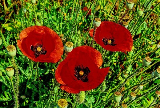 Corn poppy, Papaver rhoeas, Poppies, Papaveraceae, Field, colorful, colourful, meadow, New Zealand, plant, plants, flo : Stock Photo