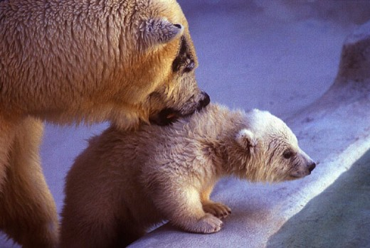 Stock Photo: 1597-11762 animal, animals, bear, dam, ice, mother, new, polar bear, Thalarctos, Ursus maritimus, young, young animal