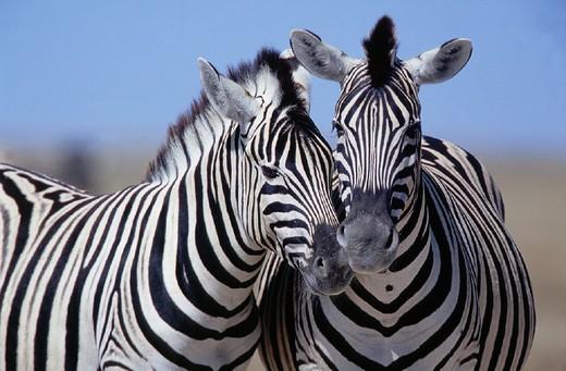 Stock Photo: 1597-117733 affectionate, Africa, animal, animals, Equus burchelli, Burchells Zebra, Etosha, national park, female, mare, Namibi
