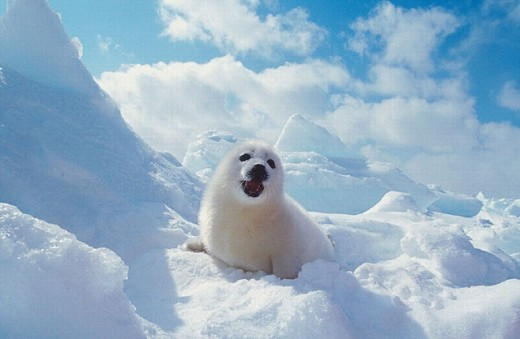 animal, animals, baby seal, Canada, North America, America, Harp Seal, new, Pagophilus groenlandicus, Phoca, Provinc : Stock Photo