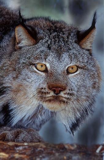 Stock Photo: 1597-11830 Amos, animal, animals, Canada, North America, America, Canada lynx, lynx, Lynx canadensis, portrait, Province of Que