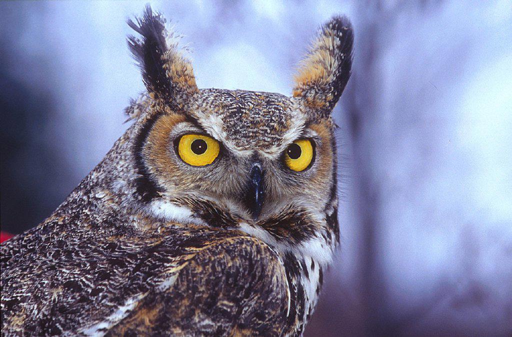 American eagle owl, Amos, animal, animals, bird, birds, Bubo virginianus, Canada, North America, America, eagle owl, : Stock Photo
