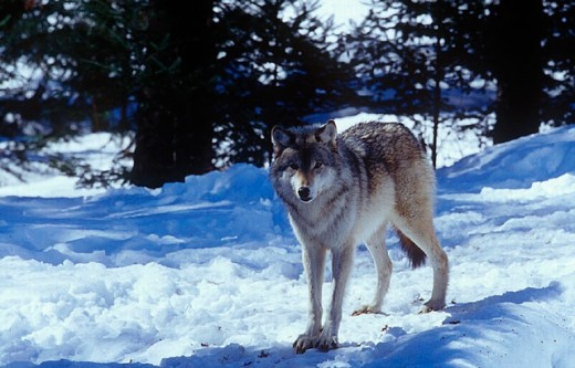 Stock Photo: 1597-11851 Amos, animal, animals, Canada, North America, America, Canis lupus, Province of Quebec, Refuge Pageau, snow, standin