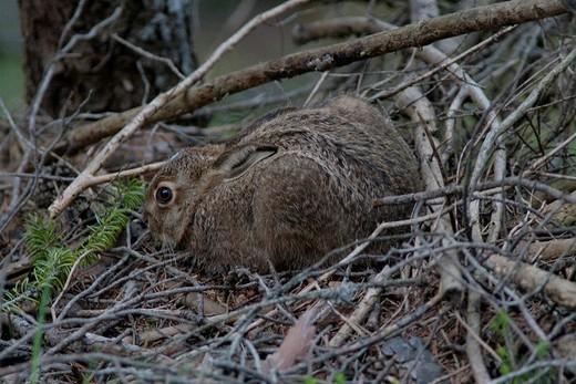 Switzerland, canton Graubünden, Grisons, animal, beast, Swiss Alps, mountains, field hare, hare, rabbit, : Stock Photo