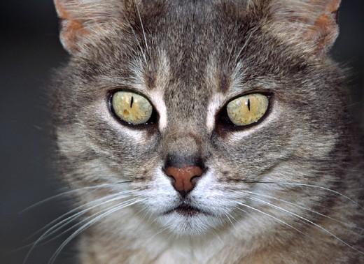 house cat, domestic cat, , cat, nature, portrait, mammal, animal, beast, : Stock Photo