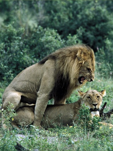 Stock Photo: 1597-119030 Africa, animal, animals, Botswana, Chobe, national park, couple, females, Lions, males, mating, park,