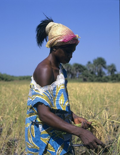Stock Photo: 1597-121357 Africa, agriculture, Casamance, crop, farmer, field, harvest, Kailoo Island, no model release, peasant, rice, rice f