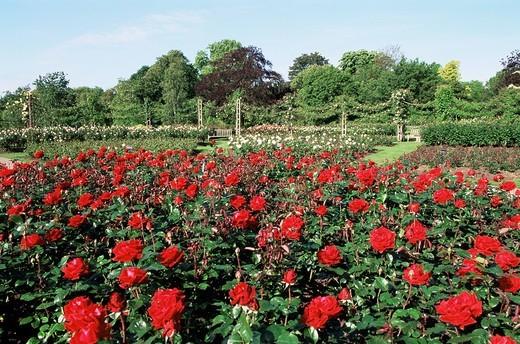 Stock Photo: 1597-121461 England, Europe, London, Regents Park, Queen Mary Gardens, Queen Marys Gardens, Rose, Roses, Rose Garden, Rose Gardens
