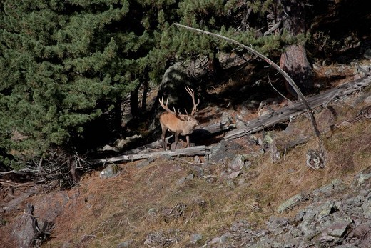 Stock Photo: 1597-121493 Switzerland, canton Graubünden, Grisons, animal, beast, wild game, red deer, deer, stag, snow, antlers, Swiss Alps, mountains