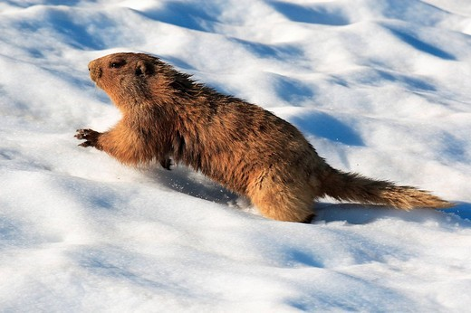 Hoary Marmot, Marmota caligata, spring, snow, run, running, jumping, jump, action, Olympic move, movement, escape, get : Stock Photo
