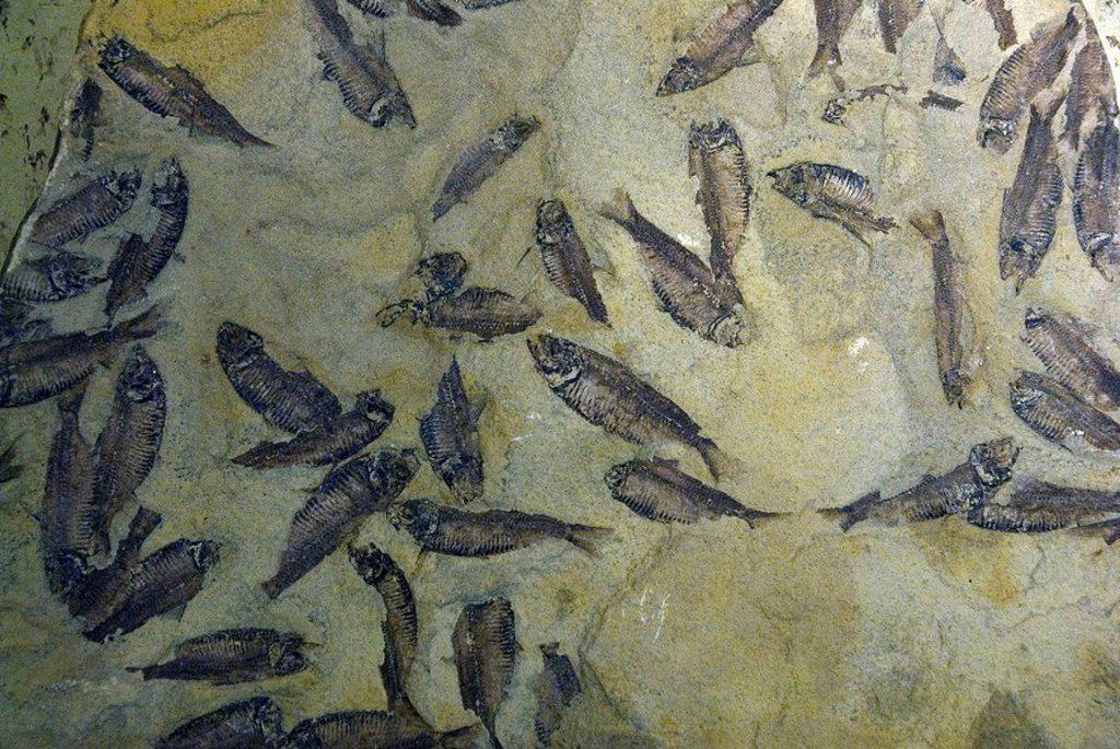 Stock Photo: 1597-122696 Fossil fish, paleontology, palaeontology, history, rock, fossils, museum