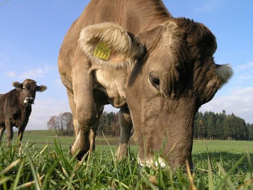 Stock Photo: 1597-123058 Agriculture, animal, animals, livestock, brown livestock, cattle, cow, cows, livestock, livestock economy, portrait,