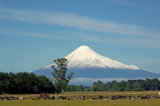 Entre Lagos, Los Lagos, Patagonia, Chile, , Volcan Osorno, volcano, volcano cone, scenery, cattle, cows, : Stock Photo