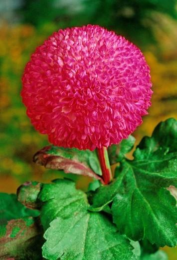 Chrysanthemum, Compositae, plant, plants, flower, flowers, flowering : Stock Photo