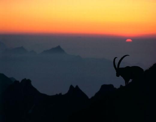 alps, animal, animals, Capricorn, dusk, mood, mountains, silhouettes, sundown, Switzerland, Europe, Alps, twilight : Stock Photo
