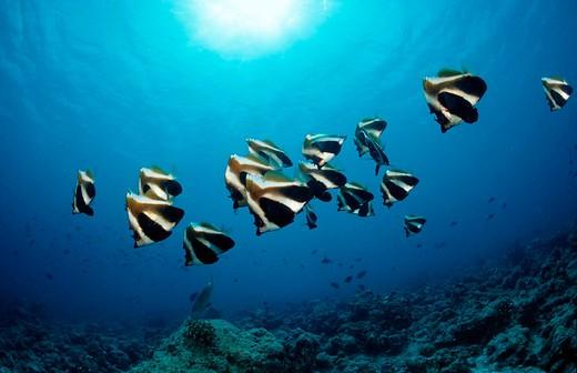 Humphead bannerfish, Heniochus varius, Maldives Islands, Indian ocean, Ari Atol, Atoll, Seawater fishes, fish, fishes, : Stock Photo