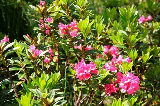 Stock Photo: 1597-125212 Switzerland, Europe, Canton Valais, Goms, Rhododendron, Alpine rose, flowers, flower, pink, blossom, mountains, plant,