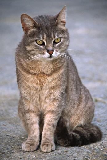 house cat, domestic cat, , cat, nature, mammal, animal, beast, : Stock Photo