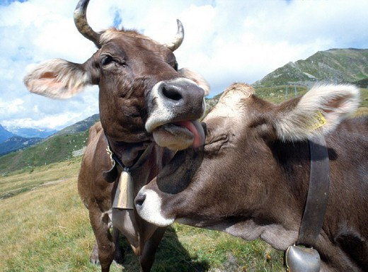 2, arrangement, mountain, emotion, friend, friends, friendship, mountains, feeling, emotion, pleasure, grouping, cow : Stock Photo