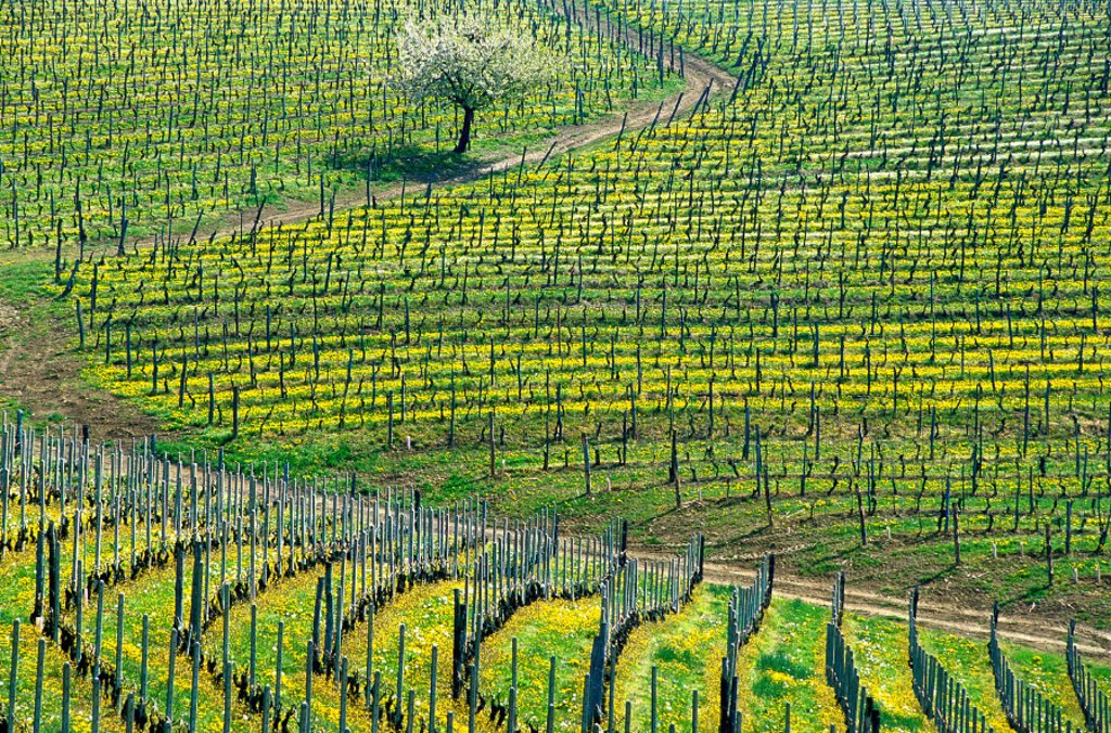 Stock Photo: 1597-126152 wine, vineyard, cultivation, outhouse, agriculture, series, picture series, seasons, spring, scenery, landscape, Italy