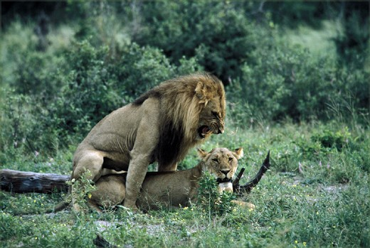 Stock Photo: 1597-126251 Africa, animal, animals, Botswana, Chobe, national park, couple, females, Lions, males, mating, park,