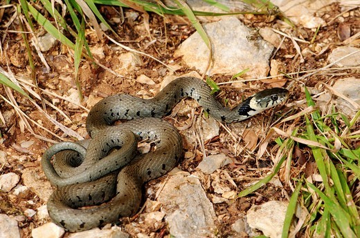Stock Photo: 1597-126552 Grass snake, colubrid, colubrids, Natrix natrix he