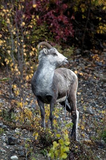 Stock Photo: 1597-126554 Stone Sheep, Ovis Dalli Stonei, Muskwa Kechika Nor