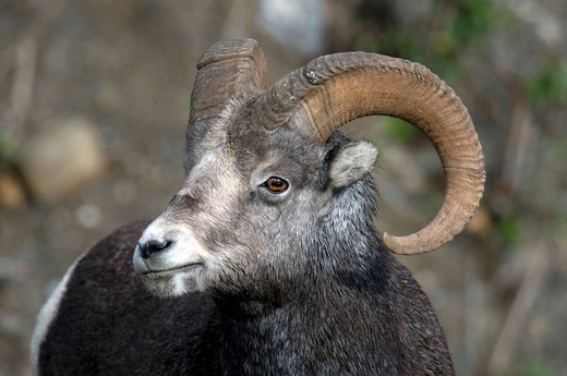 Stone Sheep, Ovis Dalli Stonei, Muskwa Kechika Nor : Stock Photo