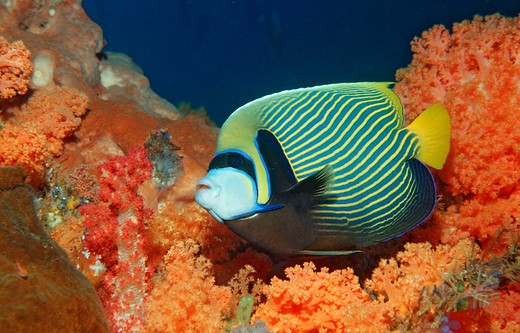 Stock Photo: 1597-128068 Emperor angelfish, Pomacanthus imperator, Indonesia, Wakatobi Dive, Resort, Sulawesi, Indian Ocean, Bandasea, angelfis