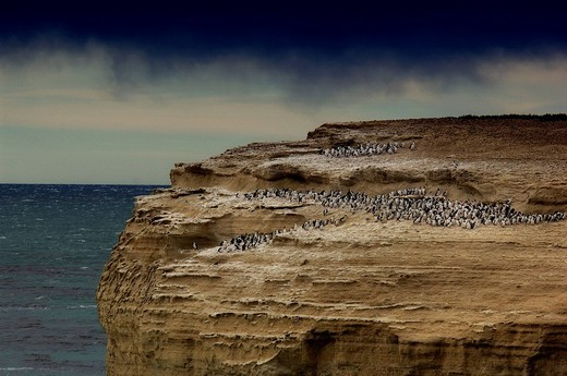 Cormorants, Coast, Parque Nacional, Monte Leon, Patagonia, Argentina, South America, : Stock Photo