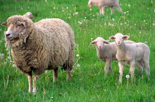 Stock Photo: 1597-128283  field, spring, season, lamb, scenery, agriculture, nature, sheep, flock of sheep, animal, beast, keeping of pets, li