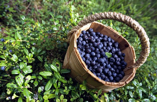berry, berries, blueberry, basket, basket, summer, shrub, bush, vitamin, fully, : Stock Photo