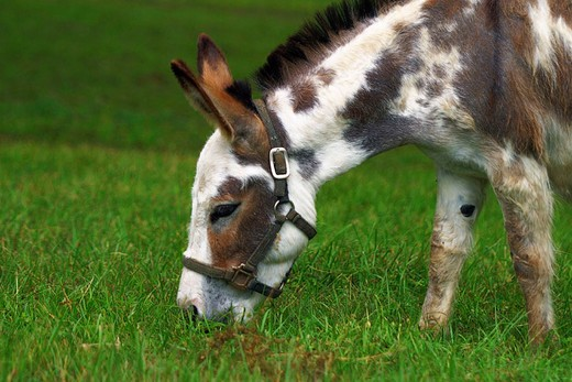 Stock Photo: 1597-129341 USA, America, United States, North America, Texas Chapell Hill, animals pets, ass miniature donkey, Equidae, mammal