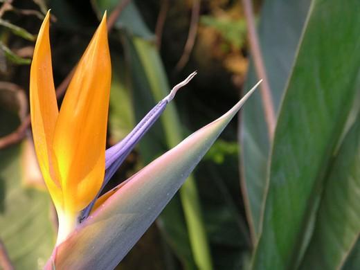Stock Photo: 1597-130149 bird of paradise flower, Strelitzia reginae, flower, Strelitze, exotic, blossom