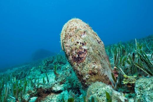 Stock Photo: 1597-130556 Noble Pen Shell, Pinna nobilis, Les Ferranelles, Medes Islands, Costa Brava, Mediterranean Sea, Spain