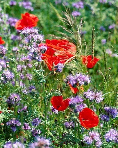 poppy, meadow, red, Phazelia, violet, flowers, blossoms, flourishes, : Stock Photo