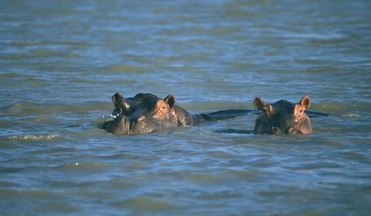 Africa, Tanzania, Selous, national park, Rufiji river, hippo, wildlife : Stock Photo