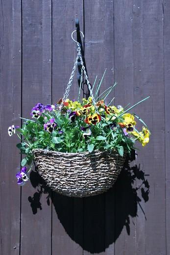 Stock Photo: 1597-131456 begonia, Cornwall, England, Europe, flower box, flowerpot, flowers, Great Britain, Europe, hanging, pansies decorati