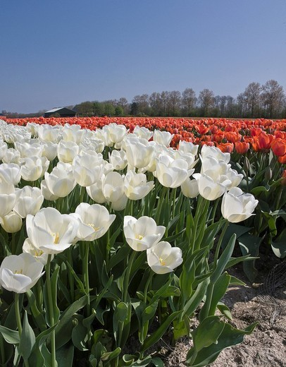 Netherlands, Holland, Noord_Holland, Middenmeer, Landscape, Flowers, Spring, tulip field, panorama, tulip field, red, white, tulips : Stock Photo