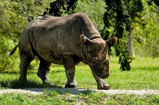Stock Photo: 1597-134074 black rhino, diceros bicornis, rhinoceros, one, portrait, green, park, animal, zoo, USA, Florida, North America